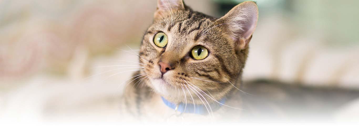 Memorial Cremation Cat